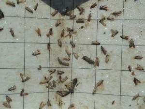 invazie molii