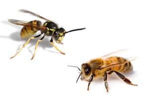 diferenta-albina-viespe