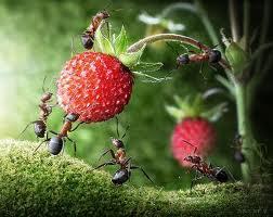 colonie furnici