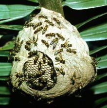 cuib viespi