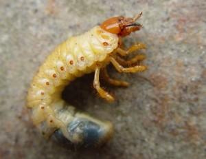carabus larva