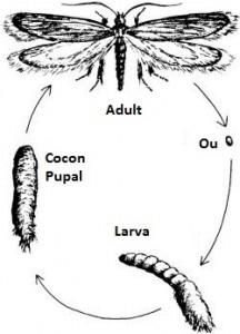 cum scaam de molii