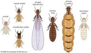 tipuri termite
