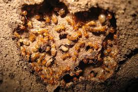 termite cu aripi