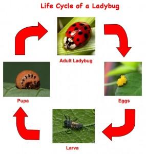 ciclu de viata buburuza