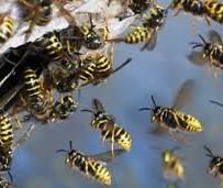 Cum scapam de viespi ? Informatii utile si combatere