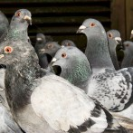 Informatii porumbel